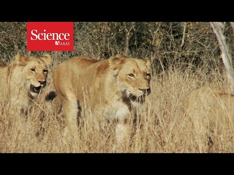 Why are lions smarter than tigers?