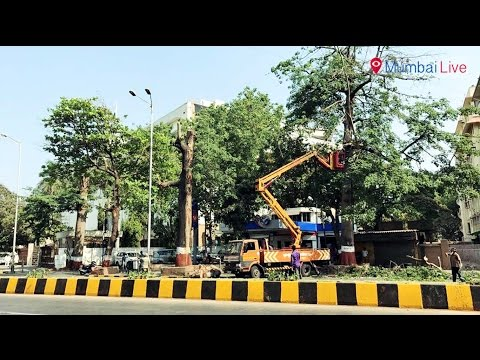 Contractors chop HC permission to trim trees | Mumbai Live