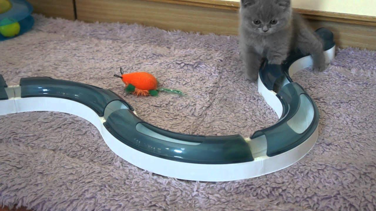 koty brytyjskie - miot L Luivicia