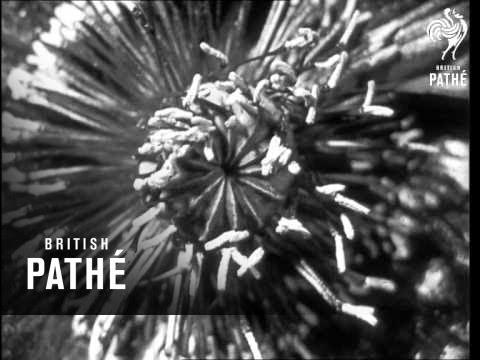 Secrets Of Nature - Dream Flowers (1931)