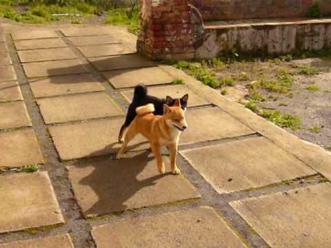 Shiro e Zoe, cucciolotti Shiba