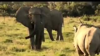 最も驚くべき野生動物の攻撃、ゾウとRhinoのリアルファイト. 驚くべき野...