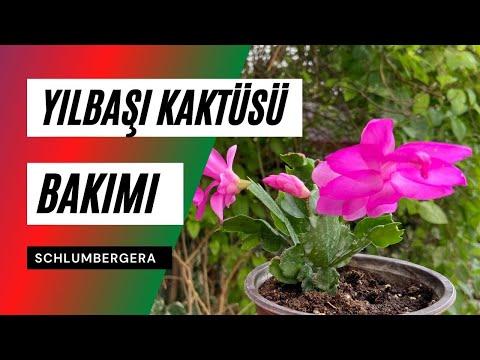 Yılbaşı Kaktüsü Bakımı: Çiçek Açtırma, Çoğaltma, Sulama 🍃  (Schlumbergera bridgesii)
