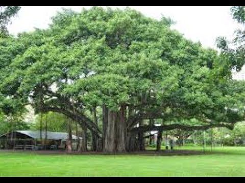 Image result for peepal tree