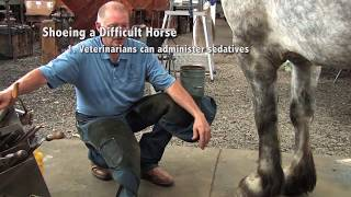Shoeing a Draft Horse  Tips and Techniques Part 1 (Front Hoof Trimming)