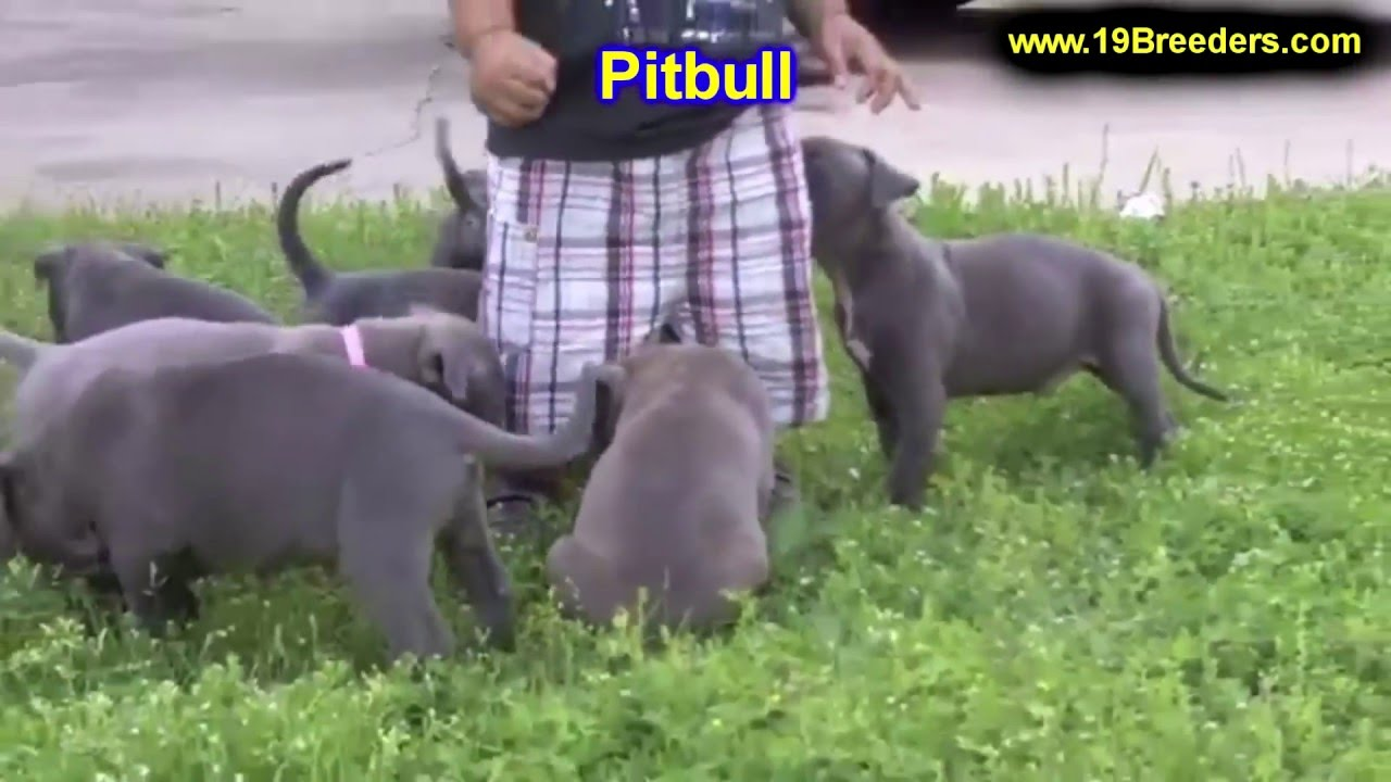 Pitbull Puppies Dogs For Sale In Charlotte North Carolina Nc
