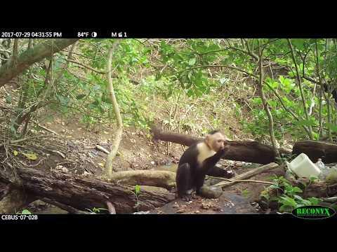 White-faced capuchin (Cebus capucinus imitator) stone tool use in Coiba National Park, Panama