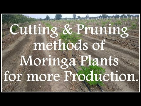 Cutting/Pruning methods of Moringa Plants for more Production.