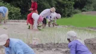 Rice planting in kathmandu 2014