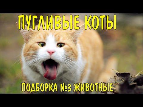 пугливые коты приколы