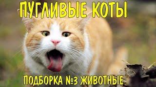 Приколы.Пугливые коты Подборка №3 животные