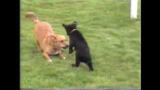 BLACK BEAR CUB  vs  Old Dog -  © Denmortube