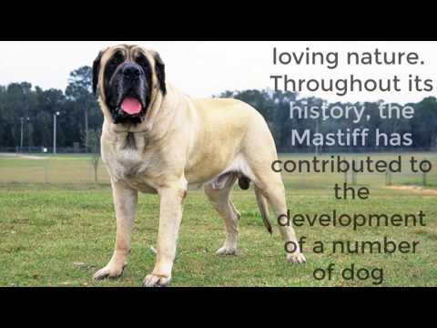 English Mastiff - Top 10 Interesting Facts