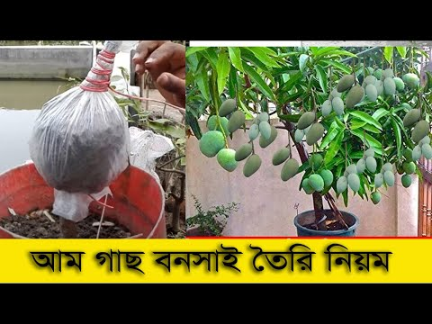 New Mango grafting Technique   Mango Grafting On Big Tree (100% Results ...