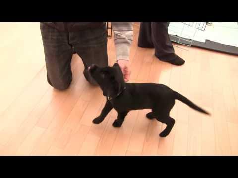 http://torikin.jp/puppy/index.htmlくいしんぼラブラドール・カイル君!パピーウォーカー記録【盲導犬候補・カイル生後2ヶ月】