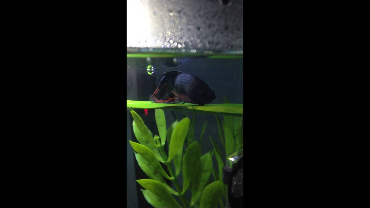 my betta fish using his hammock my betta fish using his hammock   youtube  rh   youtube