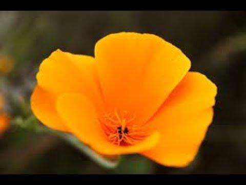 California state flower california poppy california state flower california poppy mightylinksfo