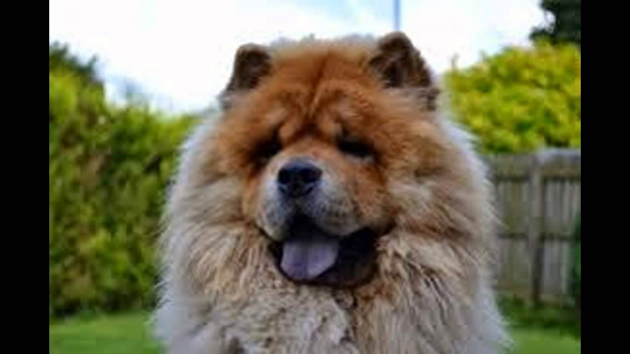 Chow chow aggressive dog breeds youtube - Images of chow chow puppies ...