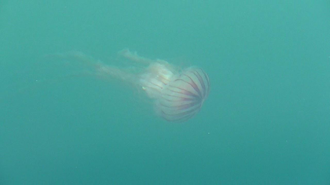 ハクション クラゲ