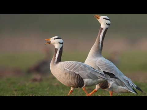 Bar headed geese Hunting