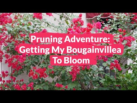 Another Pruning Adventure: Getting My Bougainvillea To Bloom