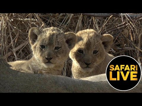 safariLIVE - Sunrise Safari - August 23, 2019