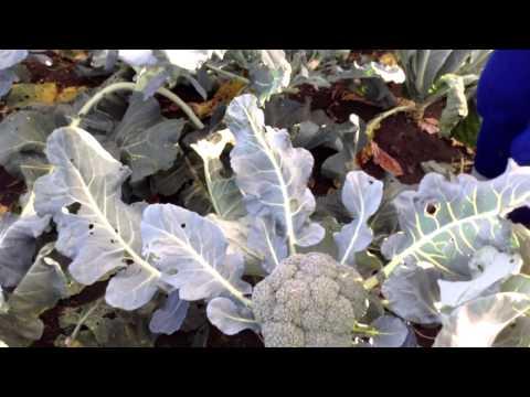 Запеканка из цветной капусты и брокколи рецепт с фото