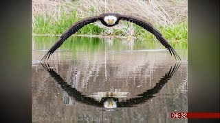 Bruce the bald eagle goes viral (Canada) - BBC News - 28th May 2019