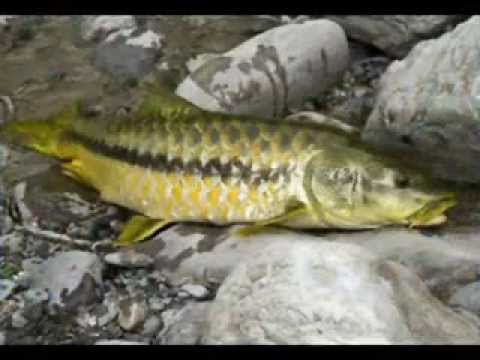 Mahseer ( National fish of Pakistan )