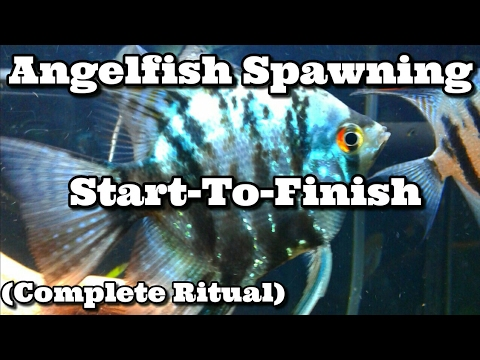 Angelfish Spawning Ritual Behavior ( How Do Angelfish Breed )