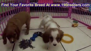 Cavalier King Charles Spaniel, Puppies, For, Sale, In, Green Bay, Wisconsin, Wi, Eau Claire, Waukesh