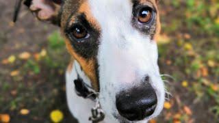 Джек-Рассел терьер - это собака? Или бурундук?))) о выборе породы))) (((((