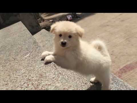 cute white pomeranian puppy playing 2 month old