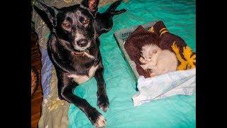 Сука ухаживает за котёнком,играет и охраняет    Собаки и кошки