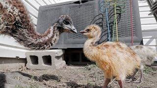 Bamboo meets the baby emus. Eeeek!