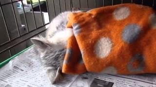 牧之原からの保護猫「あまちゃん」来た時は、生きれるのか心配なほど元...