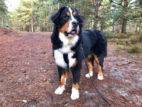 Guinness - 11 Month Old Bernese Mountain Dog - 2 Weeks Residential Dog Training