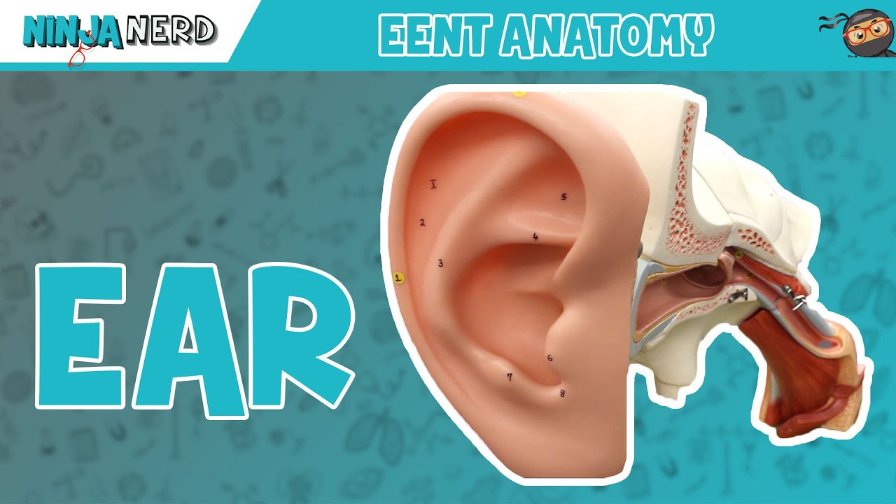 Special Senses Anatomy Of The Ear Youtube