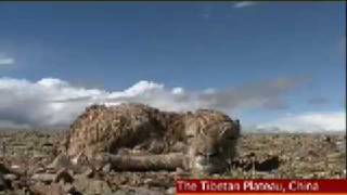Tibetan Antelopes