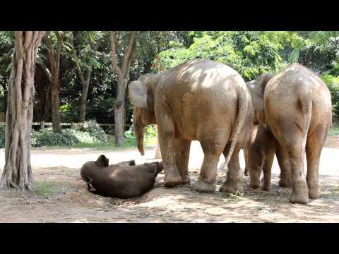 Baby Elephant Stuck on Electric Fence