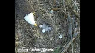 Two Eaglets Feeding on the 2013 Blackwater Eagle Cam