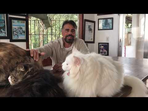 Gatos Gigantes Mainecoon Ragdoll Temperamento Filhote Criador Ecológico Gatil Gato Família Petclube