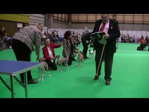 Italian Greyhounds Crufts 2018 b