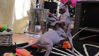Cute sphynx kittens, little naughty  villains / Baby of Chikita / DonSphynx /