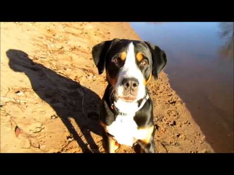That was our year-2016    Greater Swiss Mountain Dog Karl