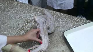 Мышцы передней конечности