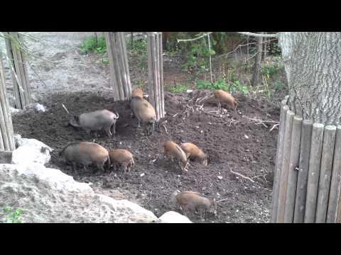 Wild Boar Family Digging for Food at Skansen Park Stockholm