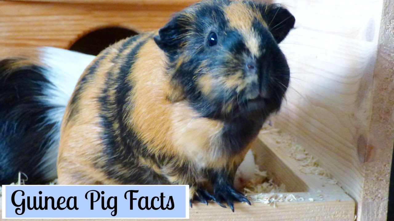 Different Types Of Guinea Pigs