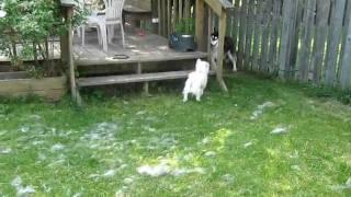Siberian Husky Vs. Westie
