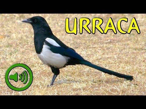 Canto de la Urraca - Pica pica